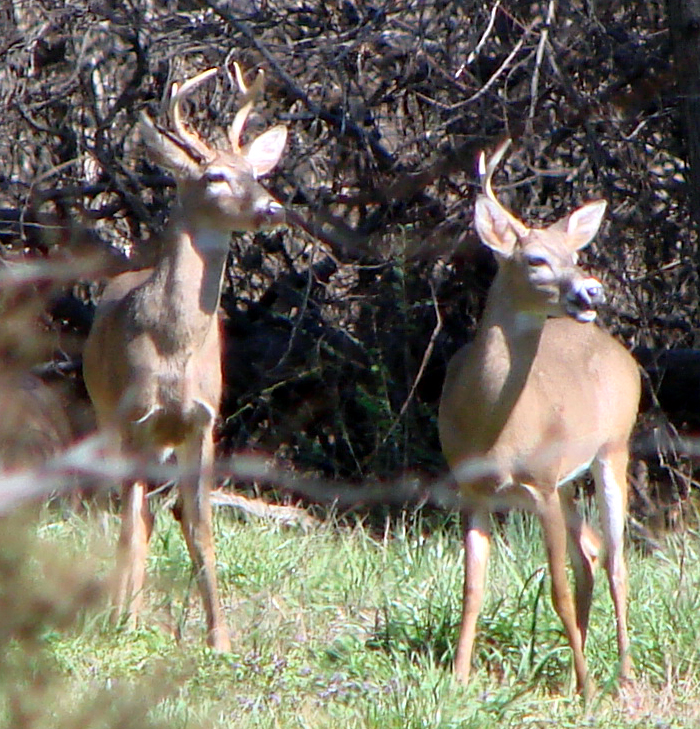 Two young whitetail bucks against a background of trees