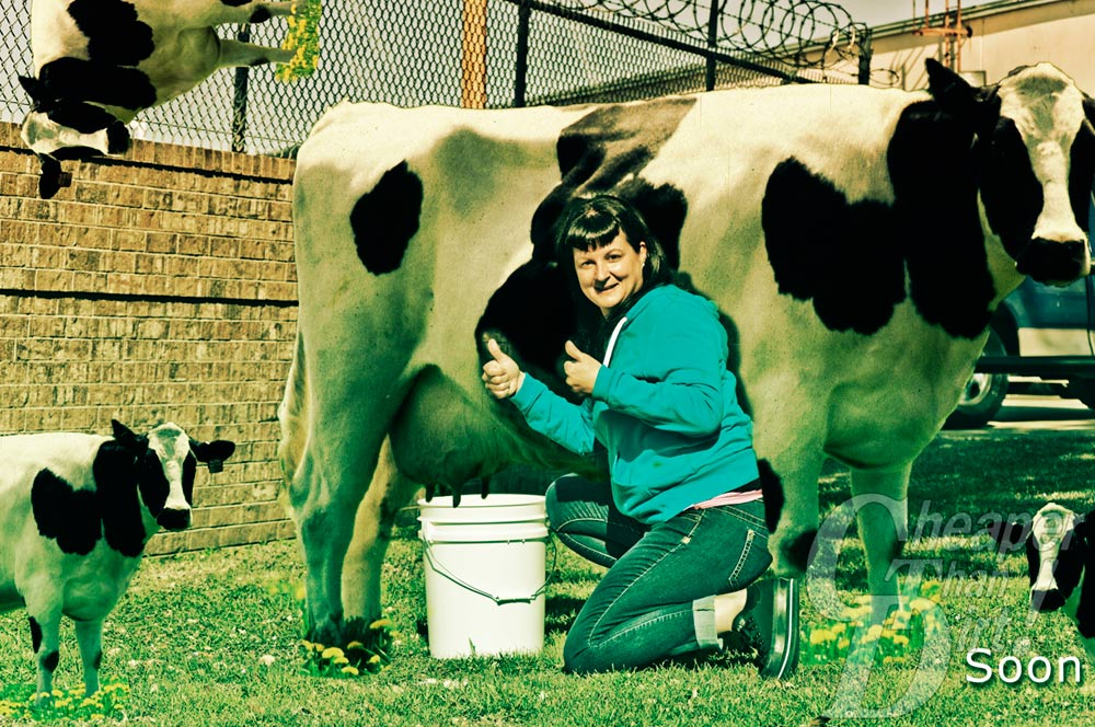 bucket cow