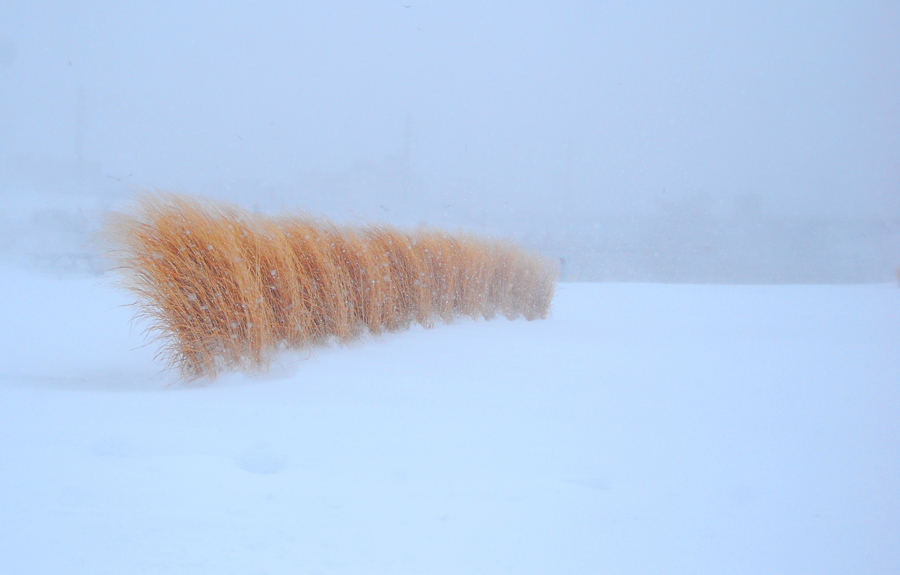 Picture shows white-out conditions in a field with crops poking through accumlating snow.