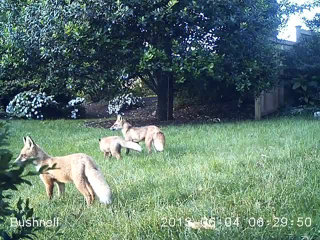 Image shows a picture of a group of foxes in the backyard taken from a trail monitor camera.