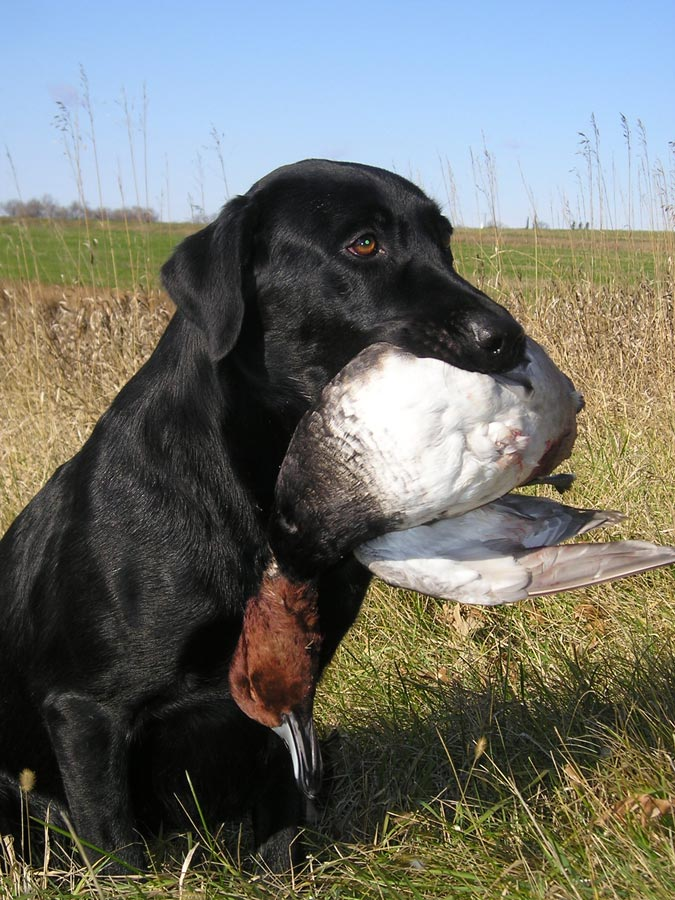 Picture shows a black labrador retriever with a dead duck in its mouth.