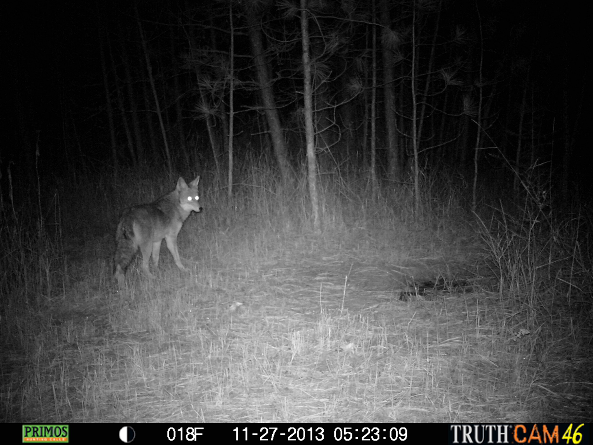 Picture shows a still black and white image taken at night of a coyote with a trail monitor.