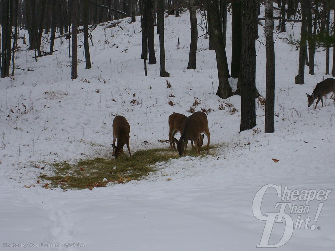 Deer feeding in snow.