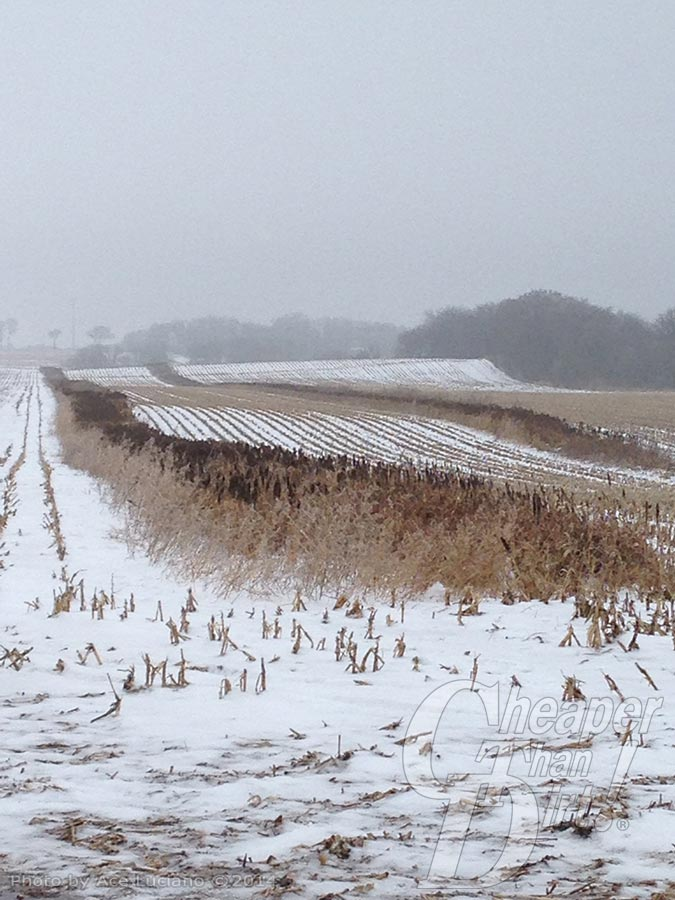 Corn field under snow