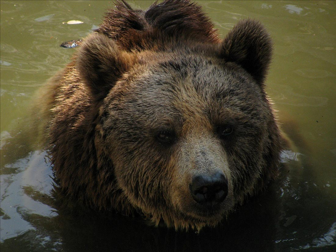 Picture shows a close-up of an American black bear's face in the water.
