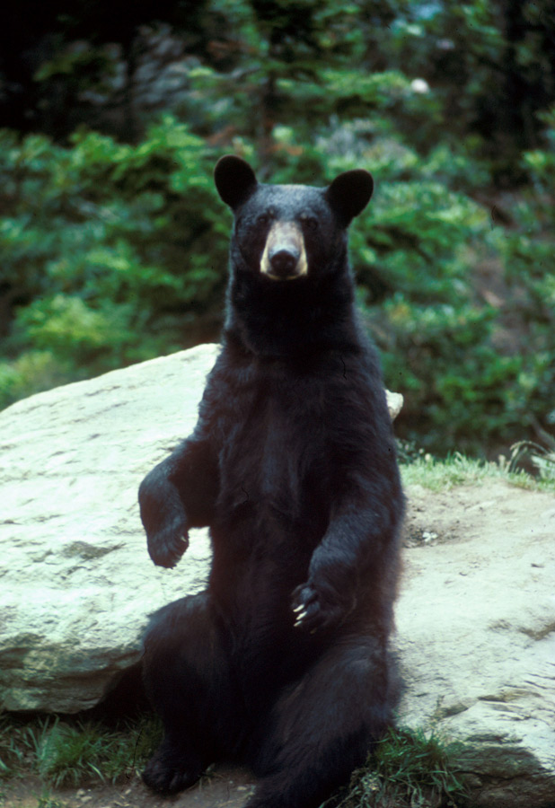 Picture shows an American black bear sitting up right on a rock.