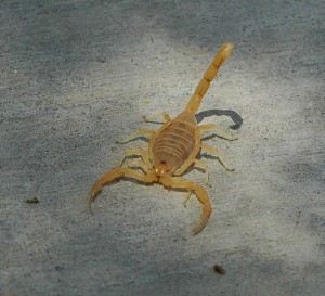 Scorpion on gray pavement