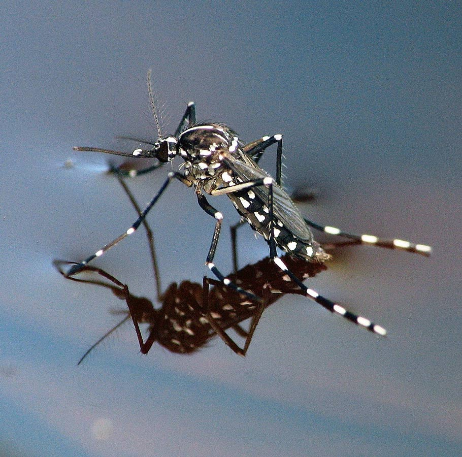 Picture shows a black and white spotted mosquito sitting on a pool of water.