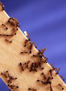 Fire ants crawling on a wood board.