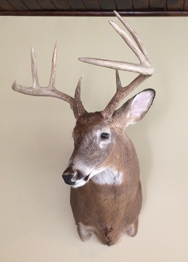 Trophy whitetail deer mount