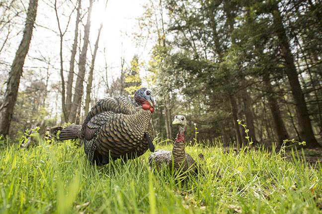 Avian-X LCD Half Strut Jake and Laydown Hen turkey decoys