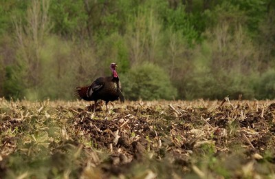 Tom turkey walking through a plowed corn field