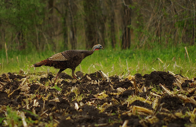 Hen turkey walking across a plowed corn field