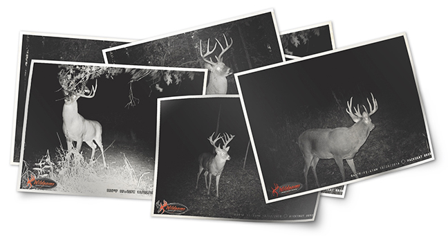 Several trail camera photos of whitetail deer.