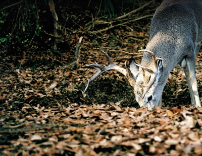 Whitetail buck eating mineral supplement